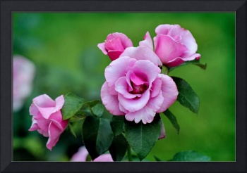 Blueberry Hill Roses