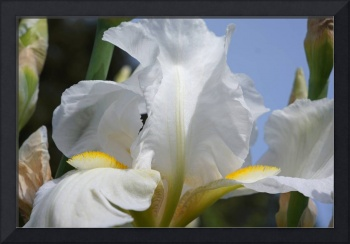 White Iris Flowers Botanical Floral Art Prints
