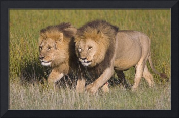 Two lion brothers walking in a forest