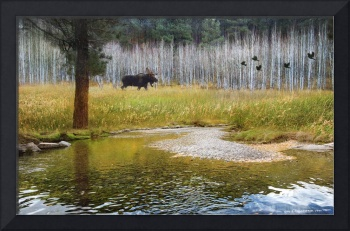 moose in forest aspens