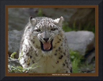 Angry Adult  Snow Leopard