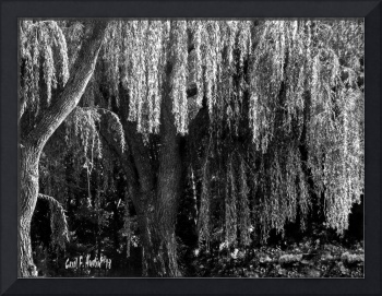 Graceful Weeping Willow Tree Wall Art