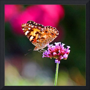 Butterfly  American Painted Lady in Pink