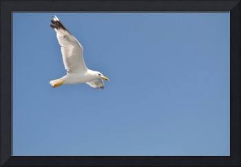 White Seagull with spread wings flying against a b