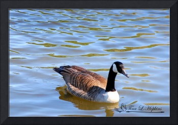 Canadian Goose 20120406_56a