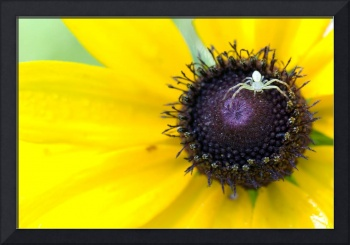 Spider On Black Eyed Susan