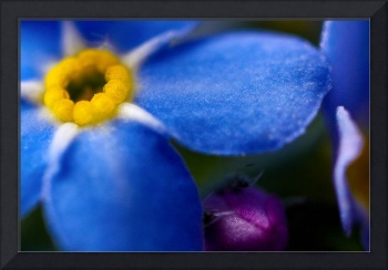 SINGLE BLUE WOOD-FORGET-ME-NOT FLOWER