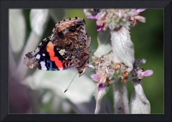 Red Admiral Butterfly on Lambs Ear Plant 2015