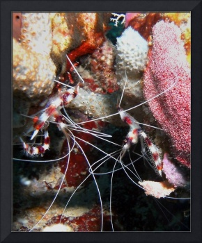 Banded Coral Shrimp resting on Coral Reef