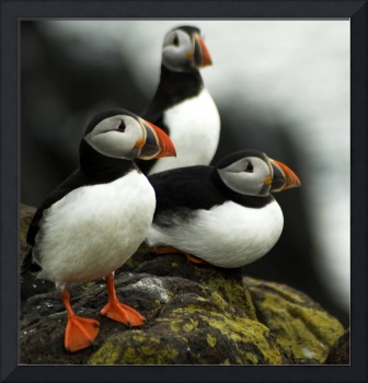 A Trio of Puffins