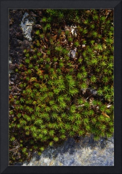 Hair-cap moss (Polytrichum strictum) growing on r