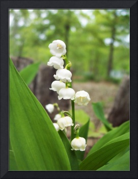 Lilly of the Valley in Color 01