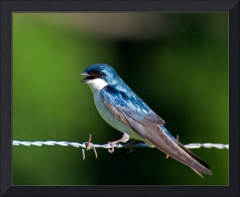 *Tennessee* Tree Swallow on Fence