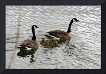 Pair of Adult Canada Geese with Gosling