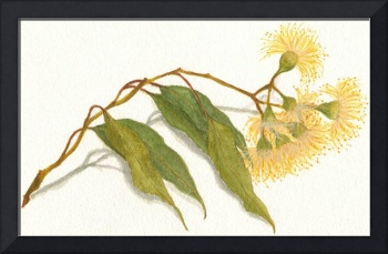 Yellow Flowering Gum