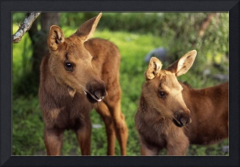 Close Up Of Two Captive Moose Calves At Alaska Wil
