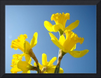 Floral Fine Art Photograhy Spring Daffodils Sky