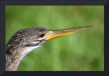 Anhinga, Snake Bird, Shark Valley, The Everglades,