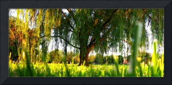 Willow Tree Panorama