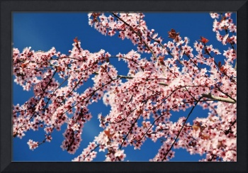 Cherry Blossoms On A Tree In Spring, Oregon