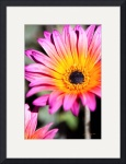 Pink and Gold Daisy by John Corney