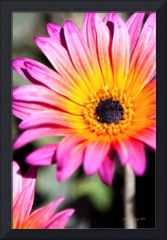 Pink and Gold Daisy