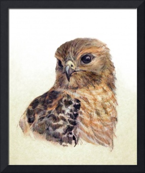 Red-shouldered Hawk