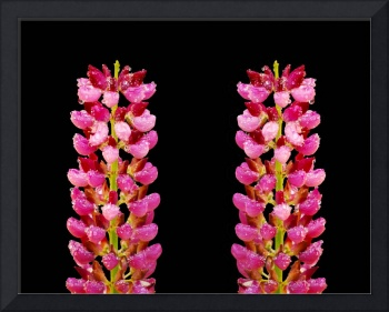 Close up of pink lupins