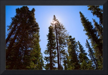 Blue Sky and Forest Pine Trees