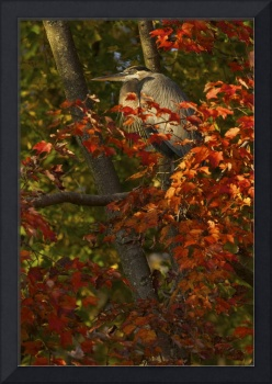 Great Blue Heron in Red Maple by Jim Crotty