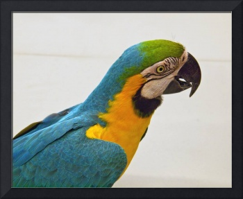 Blue and Gold Macaw (1)