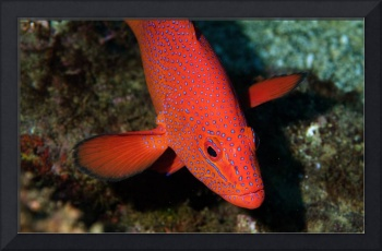 Coral Groupper Peeping