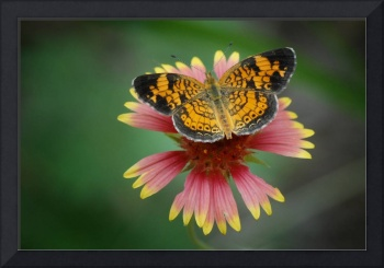 Butterfly on Blanket Flower