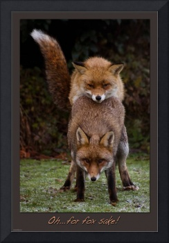 Foxes Oh... For Fox Sake!