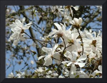 Spring Magnolia Flower White Art Magnolia Tree