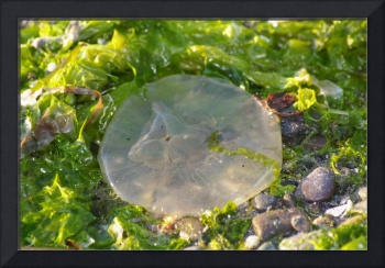 beached jelly fish and seaweed