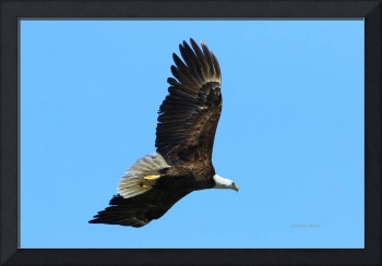 Bald Eagle Series III