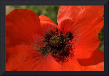Close up Poppy