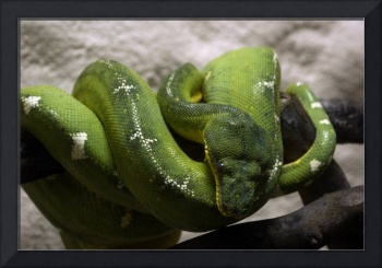 Snake-parrot, Green  tree boa, Corallus Caninus