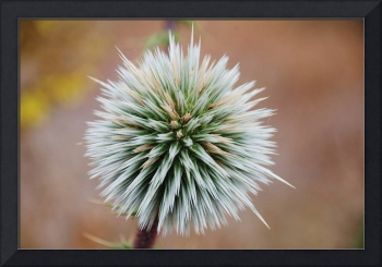 Spiny Globe Thistle