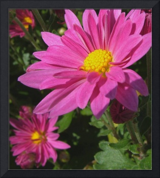 Pink Asters Photo