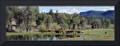 Cattle grazing along US 80 at Chromo Colorado