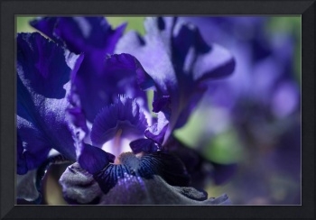Tall Bearded Iris Oklahoma Crude macro