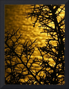 Thorns at sunset - Santorini