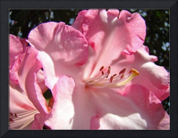Rhododendron Flower Beautiful Big Pink Rhodie