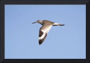 Willet Photograph