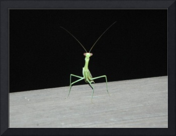 Preying Mantis Staring Contest