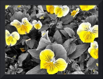 Pansy in Yellow