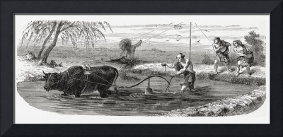 Worker Using A Water Buffalo. From El Mundo En La