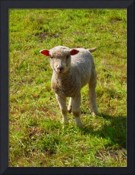 Baby Sheep In Field